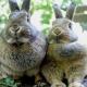2-lapins